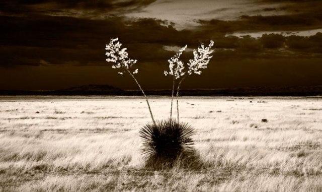 David Kachel Sunrise Yucca