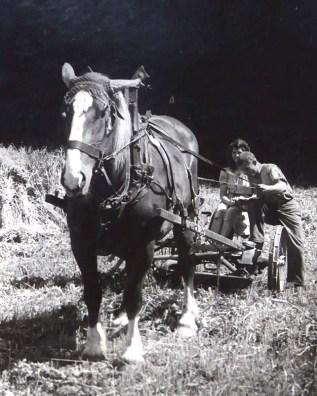 Getreideernte in der Au - Hinten auf dem Mähwerk Waltrudis Nassen
