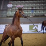 Al Thumama Stud 2016 Qatar International Arabian Horse Show