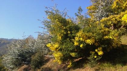 Mimosa 120219 Altiplus (1)