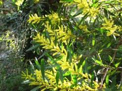 mimosas chenille ALTIPLUS La Principauté de Seborga