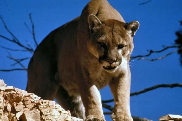 Face-à-face terrifiant entre un randonneur et un cougar qui protégeait ses petits