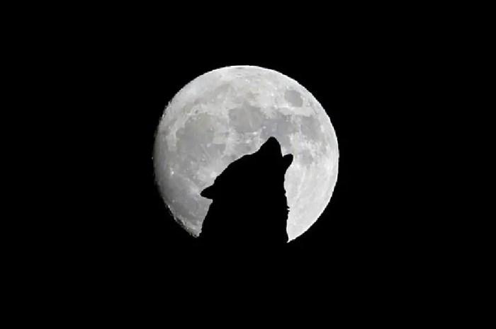 9 loups se faufilent en pleine nuit sous l'œil d'un piège photo