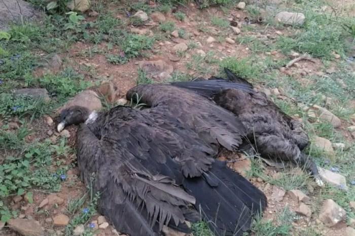 Emblèmes des Andes, 35 condors empoisonnés en Bolivie