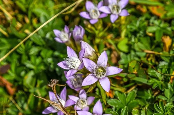 Les fleurs alpines en danger d'extinction à cause du recul des glaciers