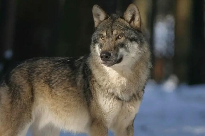 Le mystère de la disparition du loup dont seul le collier GPS a été retrouvé