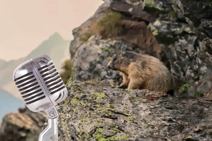 Animal emblématique des montagnes, la marmotte a son podcast !