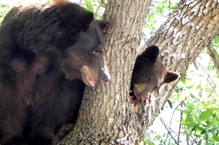 Des restes humains trouvés dans l'estomac de la maman ours et de son petit