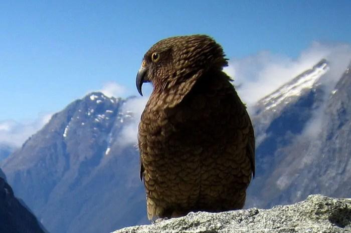 Seule espèce de perroquet de montagne, le Kéa n'a pas peur du réchauffement climatique !