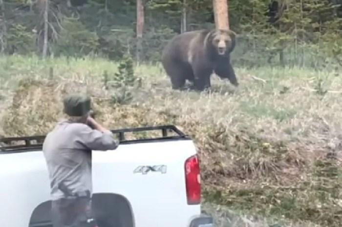 Un grizzly charge un garde du parc national, il attrape son fusil !