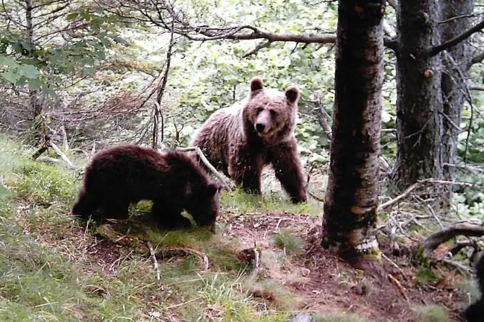 Observez des ours des Pyrénées en pleine nature !