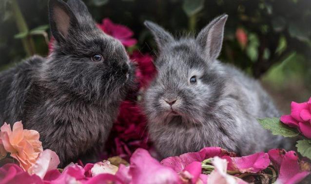 Curiosidades sobre coelhos. Na foto, dois coelhos em cima de várias pétalas de flores