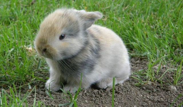 Curiosidades sobre coelhos. Na foto, um coelho filhote numa grama