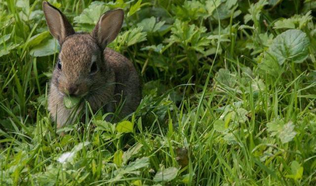 Curiosidades sobre coelhos. Na foto, um coelho cinza comento mato verdinho