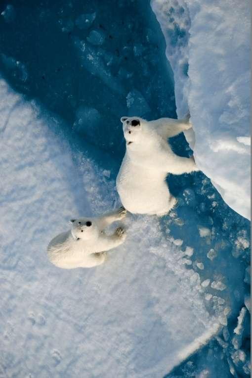 NP Polar Bears 13