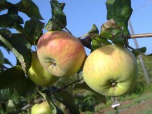 mela di campo, foto di proprietà di eleonora casula, yellowflate@gmail.com