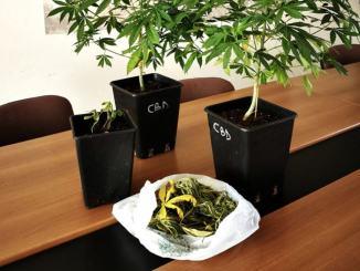 Piante e foglioline di marijuana già pronte per l'uso, scatta denuncia