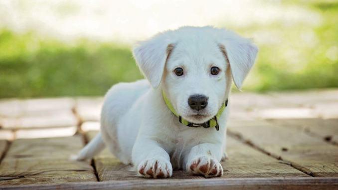 Compra un cucciolo di cane sul web, ma è una truffa