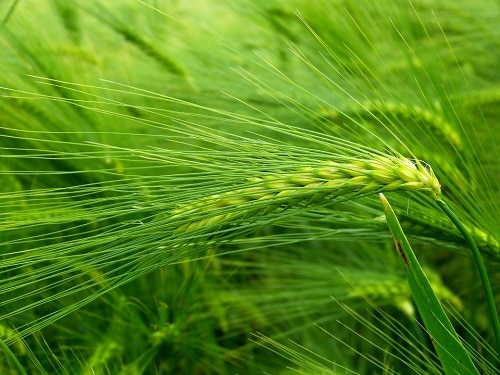 barley grass benefits