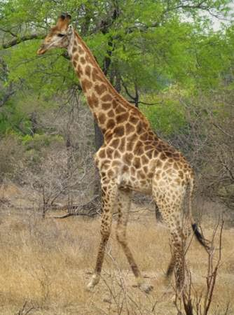 giraffe-walking-and-feeding