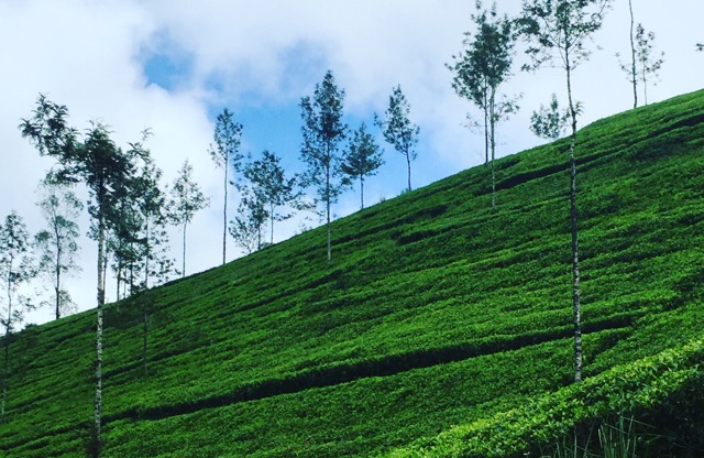 Tea-plantations-nuwara-eliya-sri-lanka