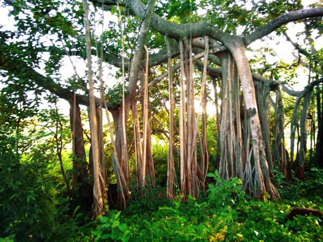 Dodda-Alada-Mara-Big-Banyan-Tree