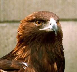 Aquila reale, esemplare adulto