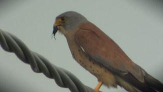 Falco grillaio (ph. Ventura Talamo)