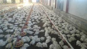 نفوق مزرعة دواجن بالكامل في نابلس