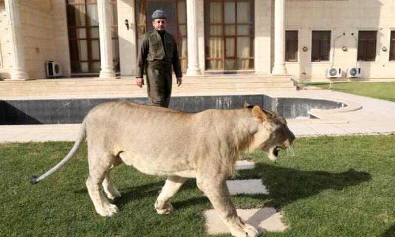 مصرع سعودي بهجوم من أسد كان يقوم بتربيته في الرياض