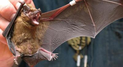 بريطانيا: اكتشاف فيروس شبيه بفيروس كورونا لدى الخفافيش