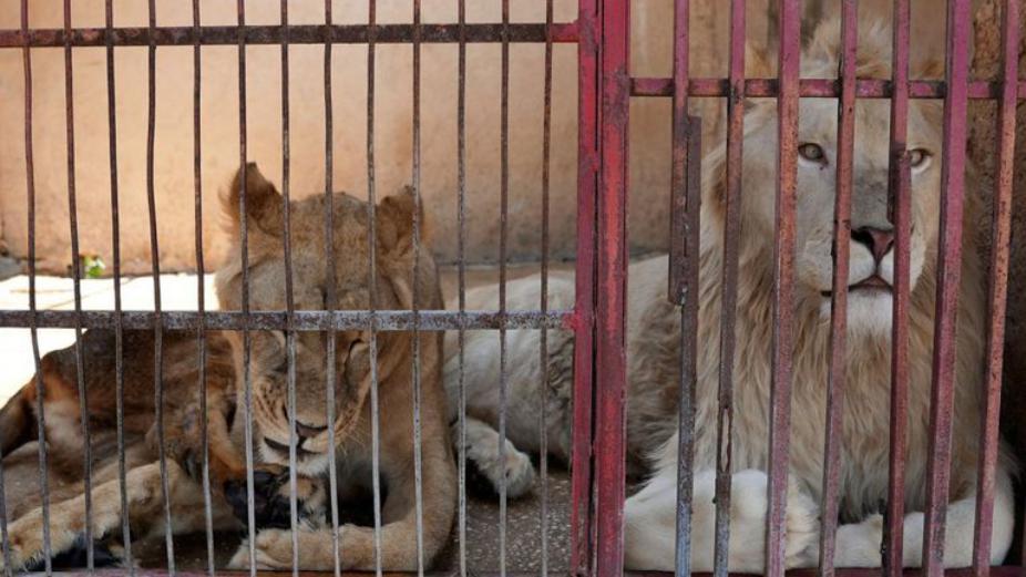 الأسود لم تعد أسودا.. الحيوانات تتضور جوعا في حدائق لبنان