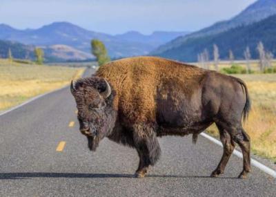 """شاهد.. حيوان """"بيسون"""" ينام وسط طريق ويعيق حركة المرور بأمريكا"""