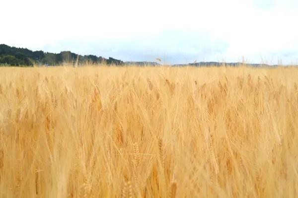 小春二条大麦