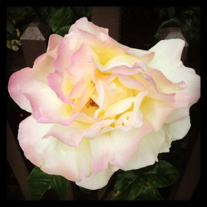 Beautiful-gold-pink-and-white-Rose