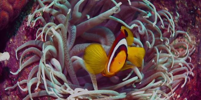 دراسة: شقائق النعمان البحرية قد تكافح ألزهايمر