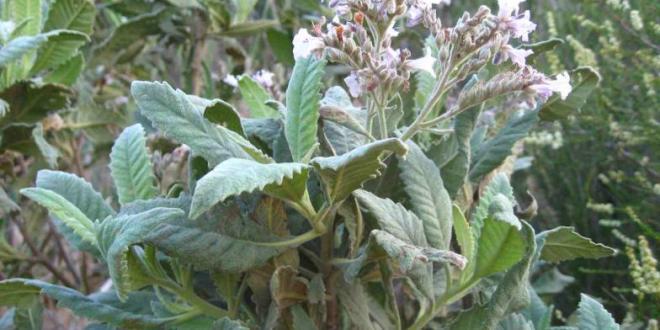 """نبتة """" العشب المقدس """" قد يحمل سر علاج مرض الزهايمر"""
