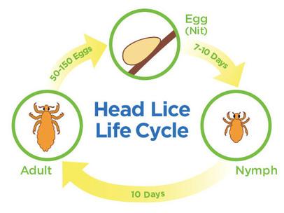 Head lice 春眠不覺曉 處處頭蝨擾 加拿大中文電臺 AM1470 FM96.1