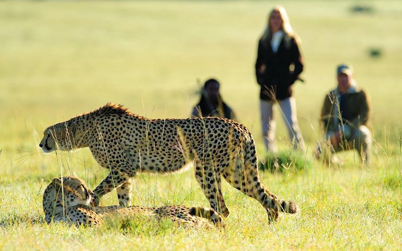 Amakhala   Activities   Guided Walks   Cheetah and Cubs
