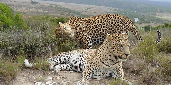 Amkhala   Born Free   Leopards