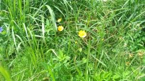 オオキンケイギクの花