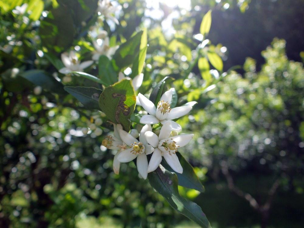 タンカンの花