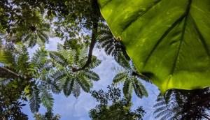クワズイモの葉陰からヒカゲヘゴと青空
