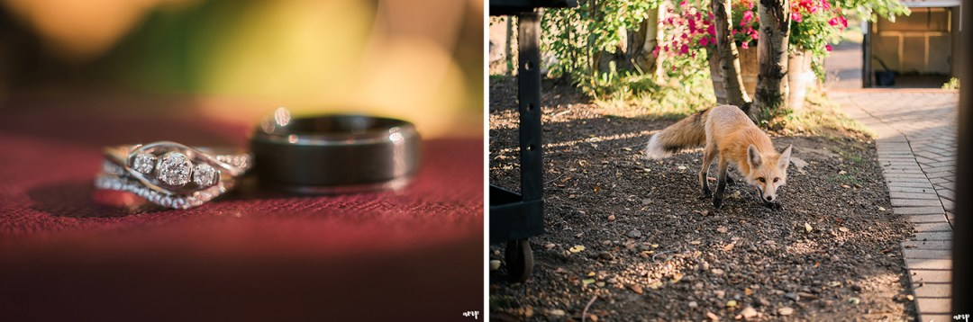 Fall colors wedding ring shot and local Crested Butte fox