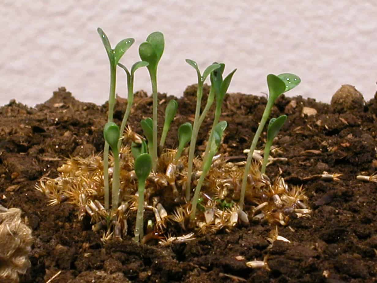 Sprouts on soil.