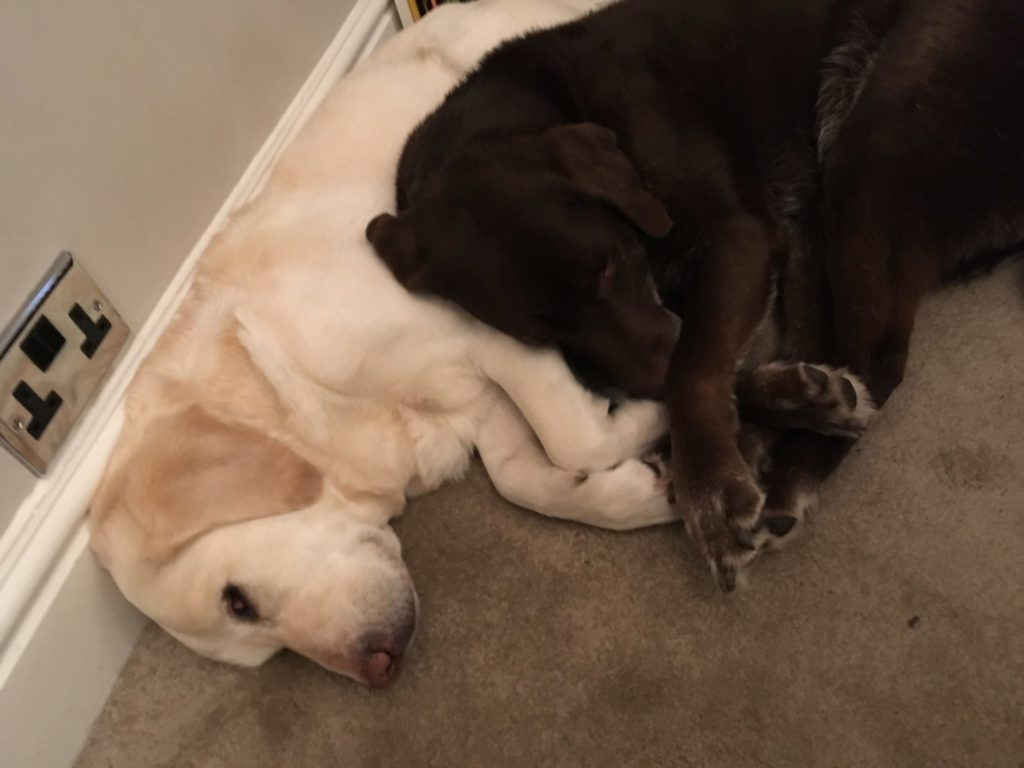 Two Labrador retriever dogs, one yellow and one brown, lying together on a beige carpeted floor.