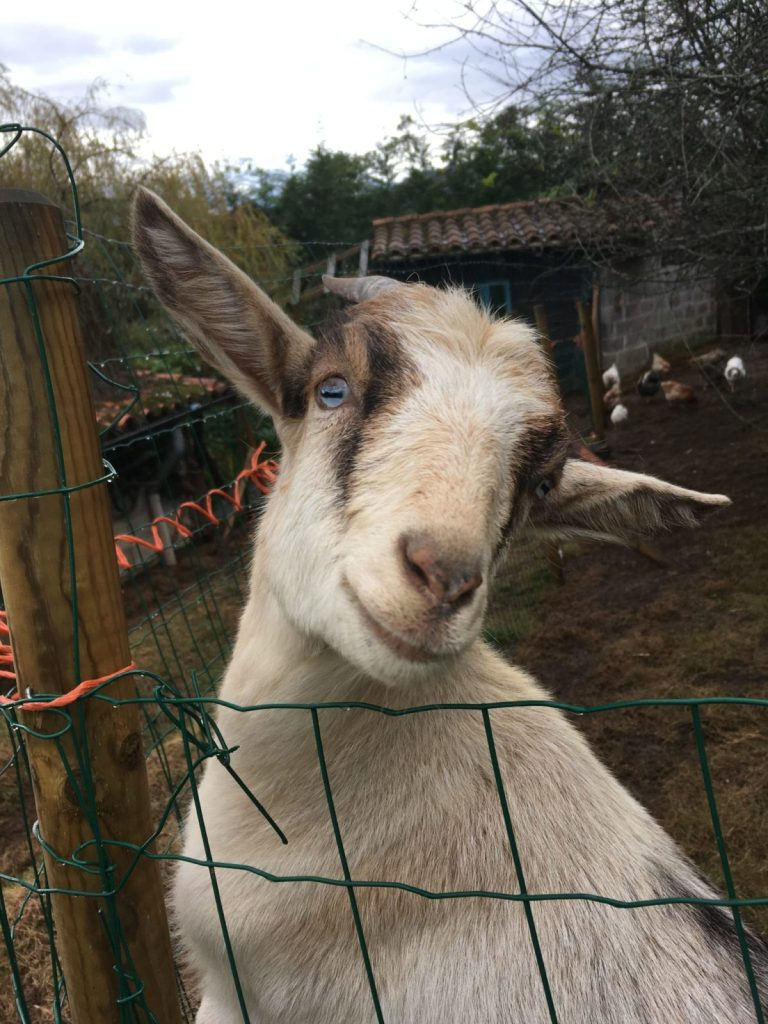 Pan the sassy goat in Spain house sitting and pet sitting