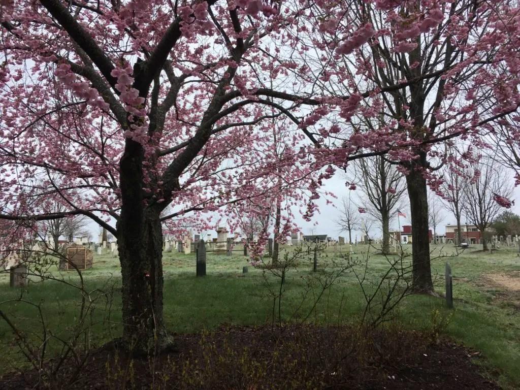 Eastern Cemetery in Portland ME looking eerie with pink flowering trees but a low fog