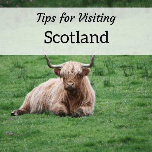 Tips for visiting Scotland from expat Amanda Walkins - image of a highland cow in a field