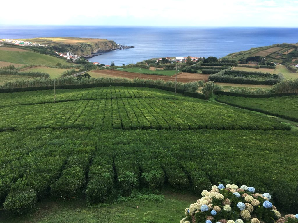 tea plantation overlooking Porto Formoso on São Miguel island in the Azores